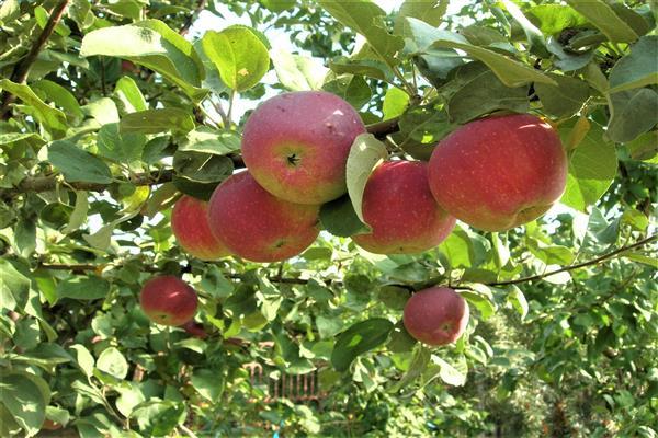 Яблоня «Орлик» фото