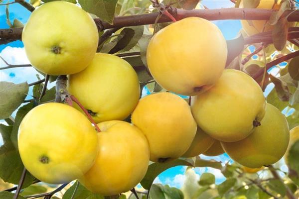 Яблоня «Китайка золотая ранняя» фото