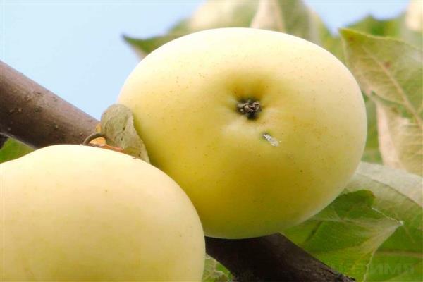 Яблоня «Атлантка» фото