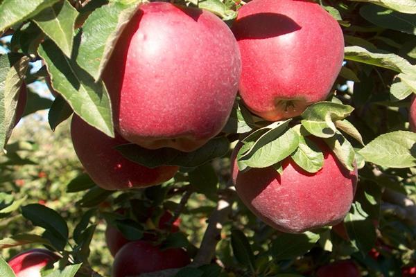 Яблоня «Делишес» фото