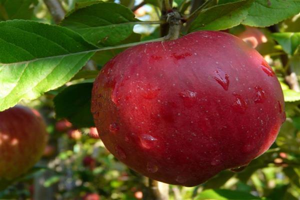 Яблоня «Дочь Макинтоша» фото
